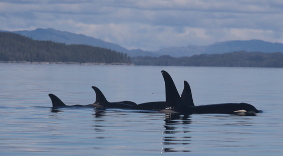 zwei Orcas, British Columbia, Kanada